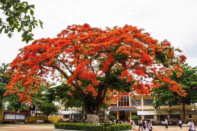 Top 10 bài văn tả cây phượng: Hoa phượng mùa hè