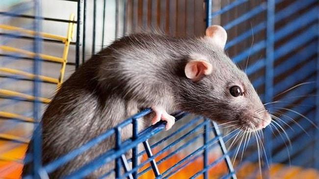 Mẹo diệt chuột an toàn và hiệu quả bằng tóc người