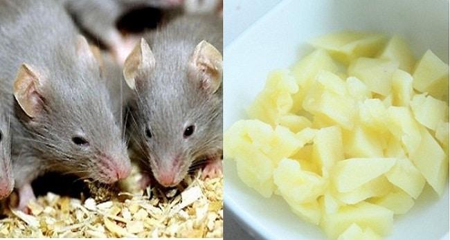 Mẹo diệt chuột hiệu quả và an toàn bằng khoai tây nghiền