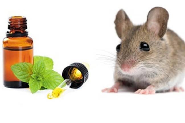 mẹo diệt chuột an toàn và hiệu quả bằng bạc hà