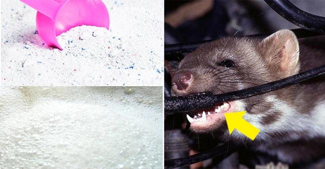 Mẹo diệt chuột an toàn và hiệu quả bằng bột giặt