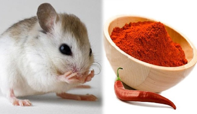 Mẹo diệt chuột an toàn và hiệu quả bằng ớt
