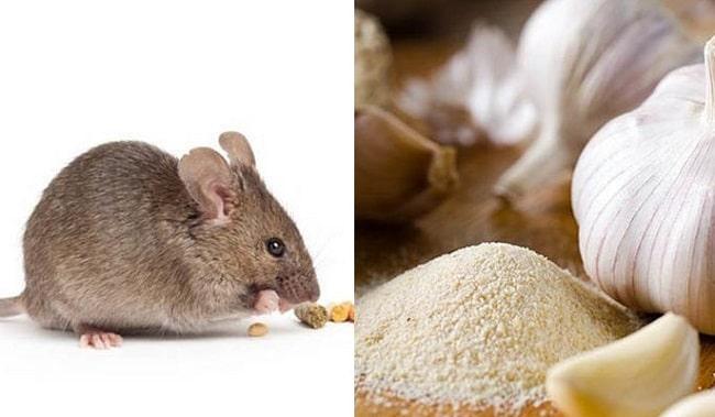 mẹo diệt chuột an toàn và hiệu quả bằng tỏi