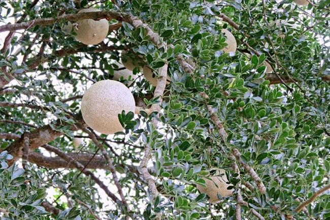 Điểm danh các món đặc sản Trà Vinh không thể bỏ qua: trái quách