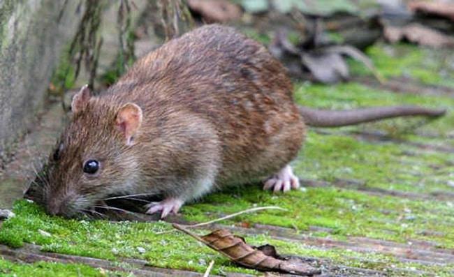 Chuột nâu là một trong Các loài chuột phổ biến ở Việt Nam hiện nay
