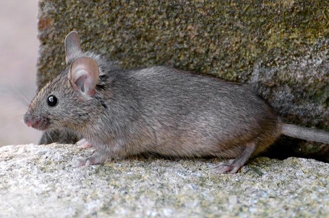 Chuột nhà là một trong Các loài chuột phổ biến ở Việt Nam hiện nay