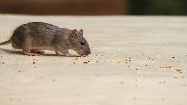 Thuốc diệt chuột Storm là gì