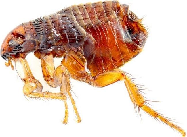 Thuốc diệt bọ chét