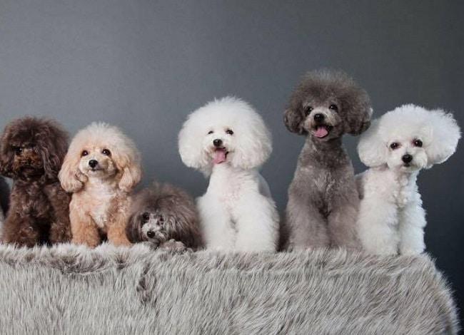 Voodlehouse shop là Top 5 Cửa hàng bán chó poodle uy tín nhất ở Hà Nội và TPHCM