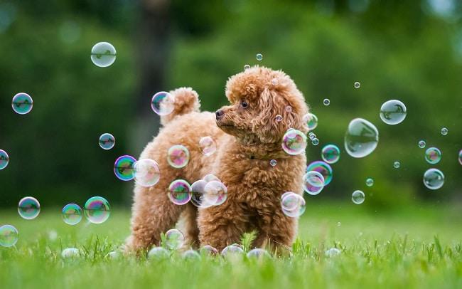 Lazy Dog Shop là Top 5 Cửa hàng bán chó poodle uy tín nhất ở Hà Nội và TPHCM