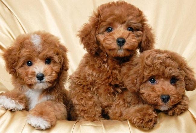 SC Dog Shop là Top 5 Cửa hàng bán chó poodle uy tín nhất ở Hà Nội và TPHCM