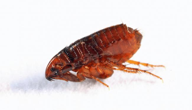 Những lưu ý khi sử dụng các loại thuốc diệt bọ chét