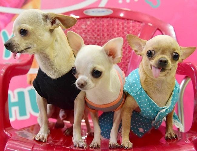 Puppy Pet Shop là Top 5 Cửa hàng phụ kiện chó mèo giá rẻ nhất Hà Nội và TPHCM