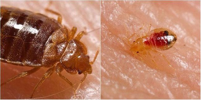Bí quyết tiêu diệt rệp giường hiệu quả