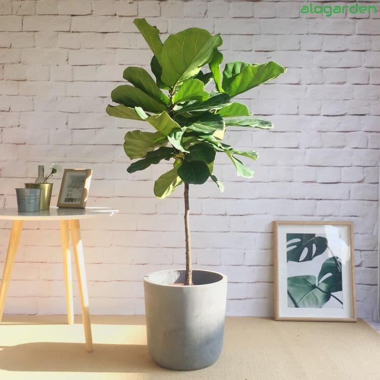 cây phong thủy - cây bàng Singapore