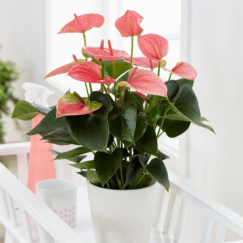 cây phong thủy - cây hồng môn