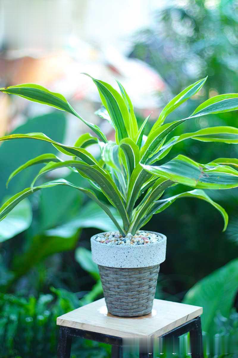 cây phong thủy - cây phát tài