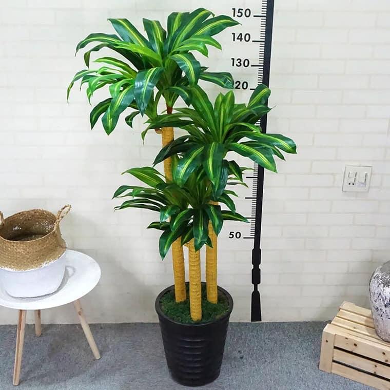 cây phong thủy - cây thiết mộc lan