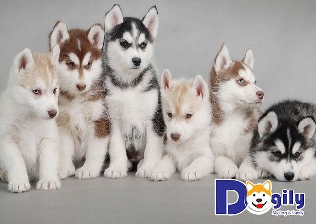 Chó Alaska tại Dogily Petshop