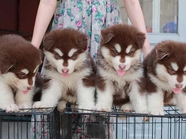 Chó Alaska tại Siêu Pet
