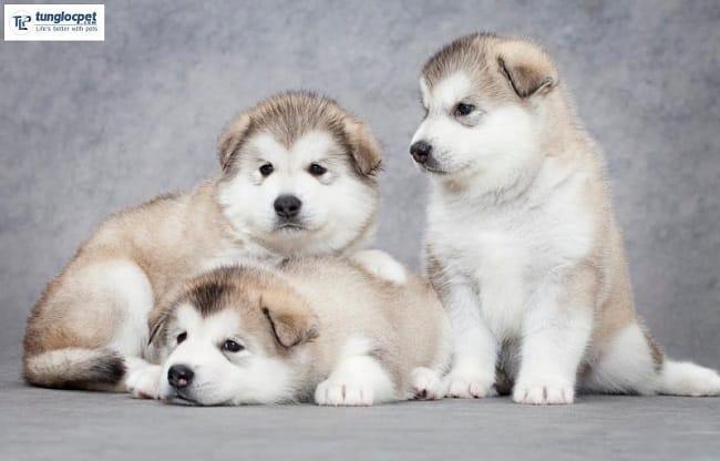 Chó Alaska tại Tùng Lộc Pet