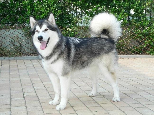 Chó Alaska tại Trại F8 Kennel