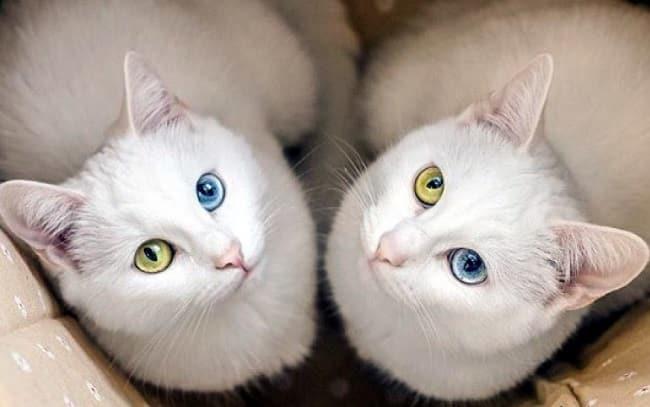 Địa chỉ phối giống mèo ở TPHCM uy tín nhất
