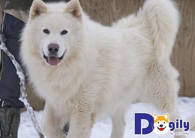 Dogily Petshop - ĐỊa điểm bán chó Alaska uy tín tại TPHCM