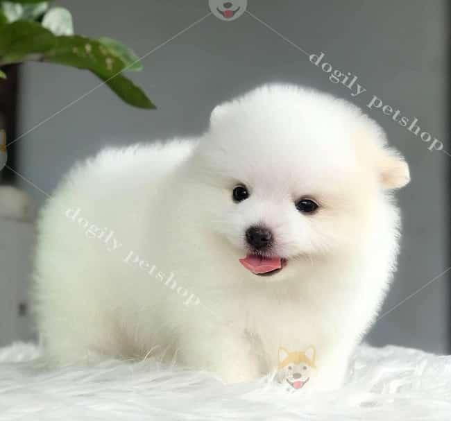 Dogily.vn - Web bán chó cảnh tại TPHCM