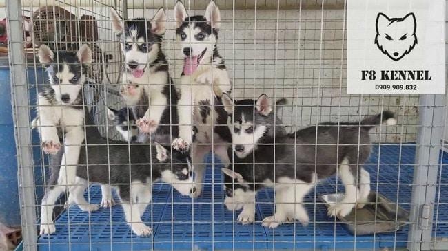 F8 Kennel - Địa điểm bán chó tại TPHCM