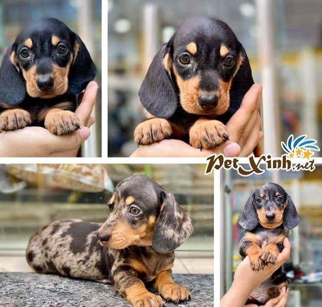 Mua chó cảnh tại Petxinh.net