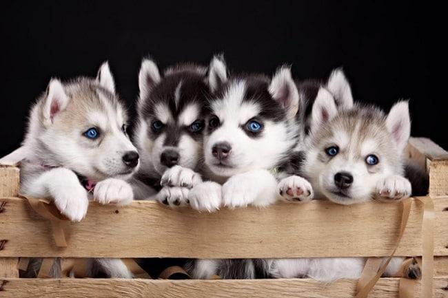 Những Web bán chó cảnh uy tín tại TPHCM