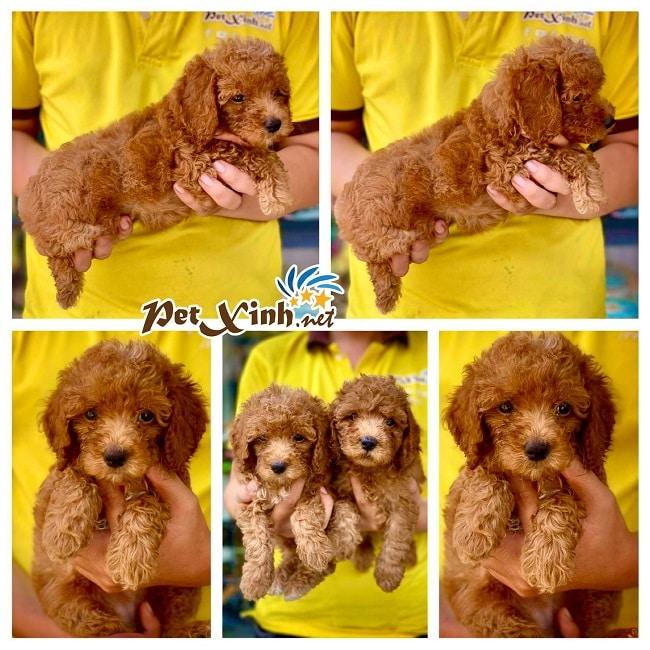 Mua chó cảnh ở Petxinh.net