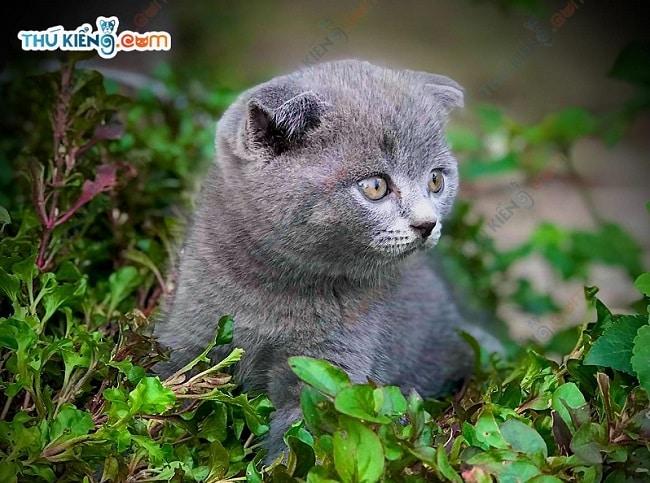 Phối giống mèo tại Thukieng.com