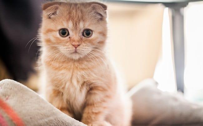 Phối giống mèo Tùng Lộc