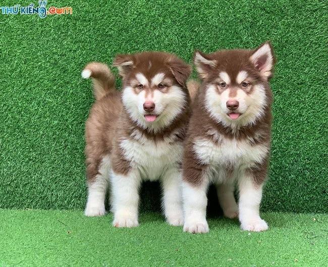 Thú Kiểng - Địa chỉ bán chó Alaska tịa TPHCM