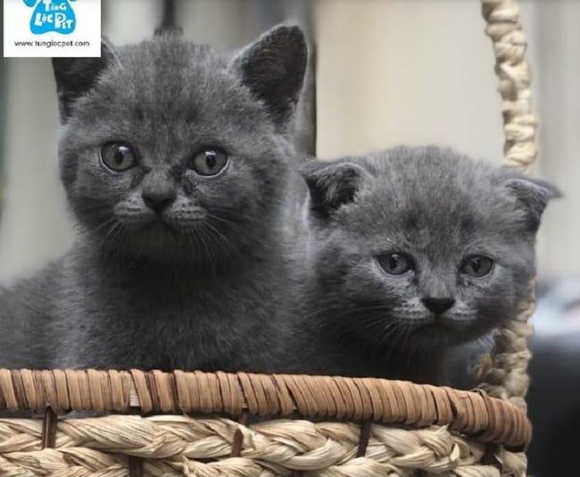 Tùng Lộc Pet phối giống mèo