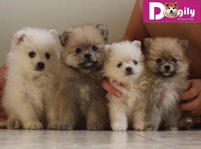 Dogily.vn - Web bán chó cảnh ở TPHCM