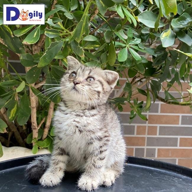Mèo Aln tại Dogily Petshop