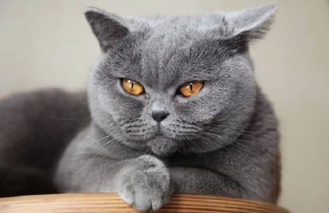 Mèo anh lông ngắn tại Lê Trung