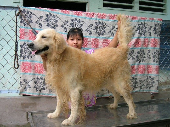 Golden tại Trại chó Tiến Vinh