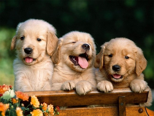 Top 6 Địa chỉ bán Chó Golden & Samoyed uy tín nhất tại TPHCM